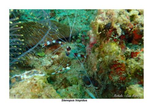 Stenopus hispidus - Grande crevette nettoyeuse - Banded coral shrimp
